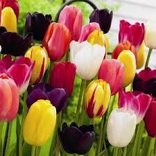 Mixed-Tulip-Bulbs-Spring-Flowering-Packs-of-50-100-Available-Free-P-P