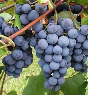 20-concord-grape-seeds