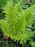 Wurmfarn - Dryopteris filix-mas - Farn von Native Plants