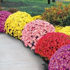"(PCHR)~""GARDEN MUM MIX"" CHRYSANTHEMUM~Seed!!~~~~~~Lots of Fall Color!"