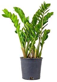 Rare ZZ Plant-Zamioculcas zamiifolia…