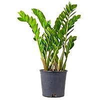 Rare ZZ Plant-Zamioculcas zamiifolia - House Plant - Bonsai - 4