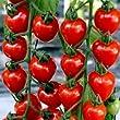 Tomato F1 Tomatoberry - 5 Seeds