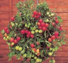 9 Tumbler Tomato Plug Plants - Sent Beginning Of March - Maskotka Red Tomato - Pre.order Now!