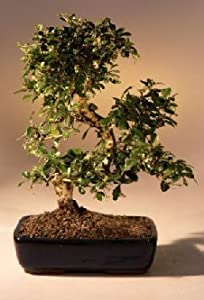 9GreenBox - Imported Flowering Fukien Tea Indoor Bonsai Tree Flowering