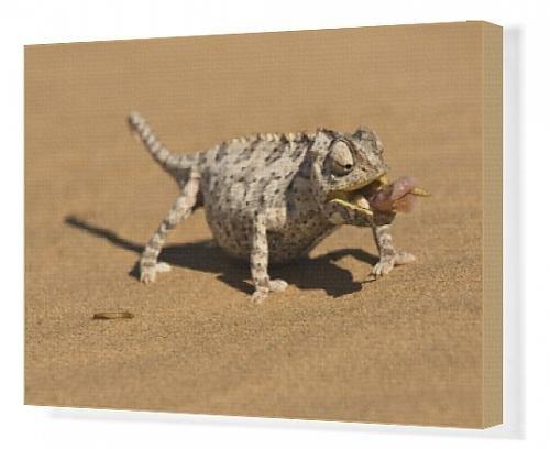canvas-print-of-namaqua-chameleon-chamaeleo-namaquensis-wraps-its-tonge-around-a-grub-worm