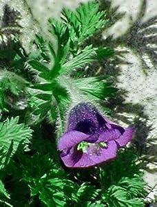 Turk Pasque Flower 15 Seeds-Pulsatilla - Shade Perennial