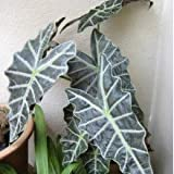 Plants Guru Alocasia Black
