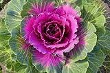Kale Imported Ornamental By Divya Seeds
