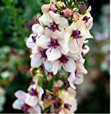 SD1500-0053 Mix Mullein Flower Seeds, Verbascum Flower Seeds, Live Seeds (30 Seeds)