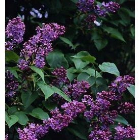 Amazon com old fashioned fragrant lilac shrubs shrub plants