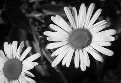 Black And White Flower Photography Prints Flower Black White Photo