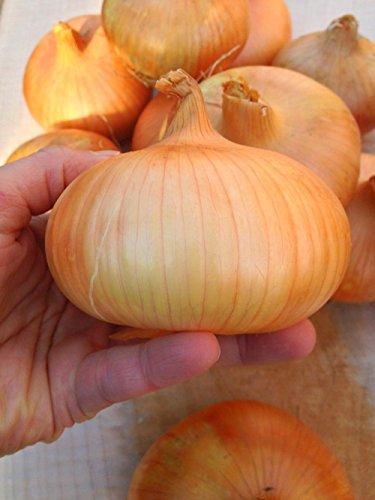 a-15g-approx-400-onion-seeds-stuttgarter-riesen-heirloom-medium-early-onion-good-for-winterkeeping