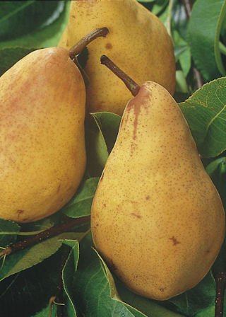 dwarf-patio-pear-tree-williams-fruit-tree-for-pots-or-small-gardens