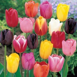100 bulbes de tulipes m lange calibre 12 livraison for Livraison tulipes