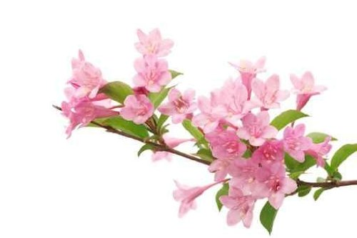 Pink Flowers with Fresh Green Leaves - 24