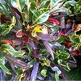 Plants Guru Croton Mammy