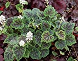 Trailing foam flower (Tiarella Appalachian Trail)