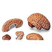 3B社 脳模型 脳5分解モデル (c18)