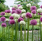Wild About Allium Bulbs Mix