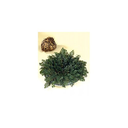 rose-de-jerico-selaginella-lepidophylla-