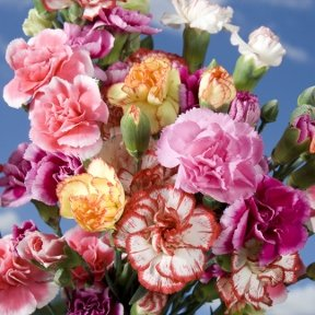 Novelty Color Spray Carnations 300