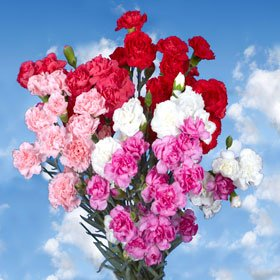 Valentine's Day 300 Spray Carnations