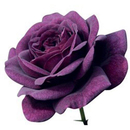 bluelover-20-violeta-flor-rosa-rose5-semillas