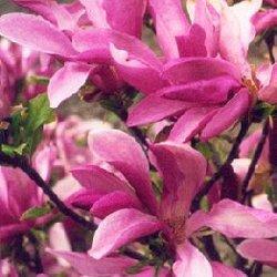magnolia george henry kern giardino e giardinaggio. Black Bedroom Furniture Sets. Home Design Ideas