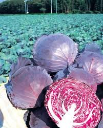 Hinterland Trading Ruby Perfection Red Cabbage Seeds 100+