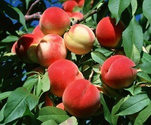 SD0531 Peach Seeds, Autumn Red Peach Fruit Seeds, Peach Tree Seed (10 Seeds) (Multi Fruit Tree compare prices)