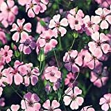Outsidepride Saponaria Vaccaria Pink - 1000 Seeds