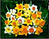 100 Mixed Daffodil/Narcissus Bulbs From Our Best Varieties Great Value Spring