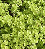 Japanese Golden Ogon Sedum Ground Cover Plants