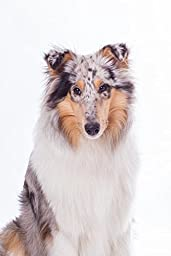 Wallmonkeys WM75578 Rough Collie Portrait Peel and Stick Wall Decals (24 in H x 16 in W)