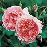 Strawberry Hill English Rose Bush -- 12 by 12 Inch Container