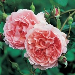 Strawberry Hill English Rose Bush, Five Gallon Container