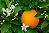 DWARF / GRAFTED Citrus Tree Collection: Pink Cara Cara Navel Orange, Meyer Lemon & Persian Lime Citrus Tree Collection[COL01] Can't ship to CA, AZ, TX, LA, FL, HI, PR or AK