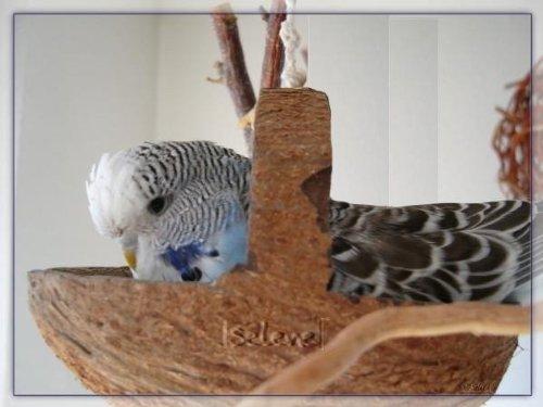 Tolle Kokosschaukel. Natur- Vogelspielzeug mit