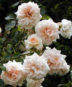 climbing rose penny lane scented honey champagne pink bare. Black Bedroom Furniture Sets. Home Design Ideas