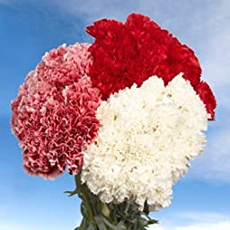 200 Fresh Cut Christmas Carnations | Fresh Flowers Wholesale Express Delivery | Perfect for Christmas Holidays.