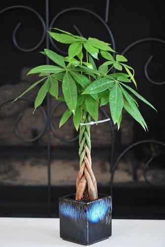 9GreenBox pachiras seeds