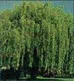 Weeping Willow Tree, Hardy Green, 36-48-inch Tall