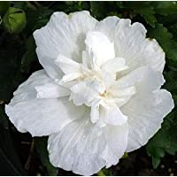 White ChiffonTM Hibiscus syriacus 'Notwoodtwo' - Rose of Sharon - Proven Winner