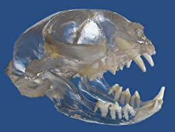 Feline Skull Visi-Model Transparent Anatomy Model with Teeth Cat