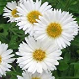 Outsidepride Aster White - 2000 Seeds