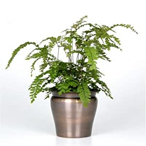Exotic angel plants fern maiden hair in 4 5 for How to take care of exotic angel plants
