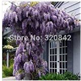 New 35 Pcs/bag Purple Wisteria Flower Seeds For DIY Home & Garden Plant Wisteria Sinensis ( Sims ) Sweet Seed Free Shipping