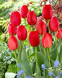 Red Parade Tulip Bulbs - Giant Darwin Tulip - Pack of 8 Bulbs