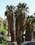 Washingtonia filifera palmier californien lot de 50 graines...